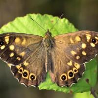 farfalla._199
